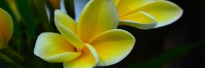 Kambodiablüte Slider